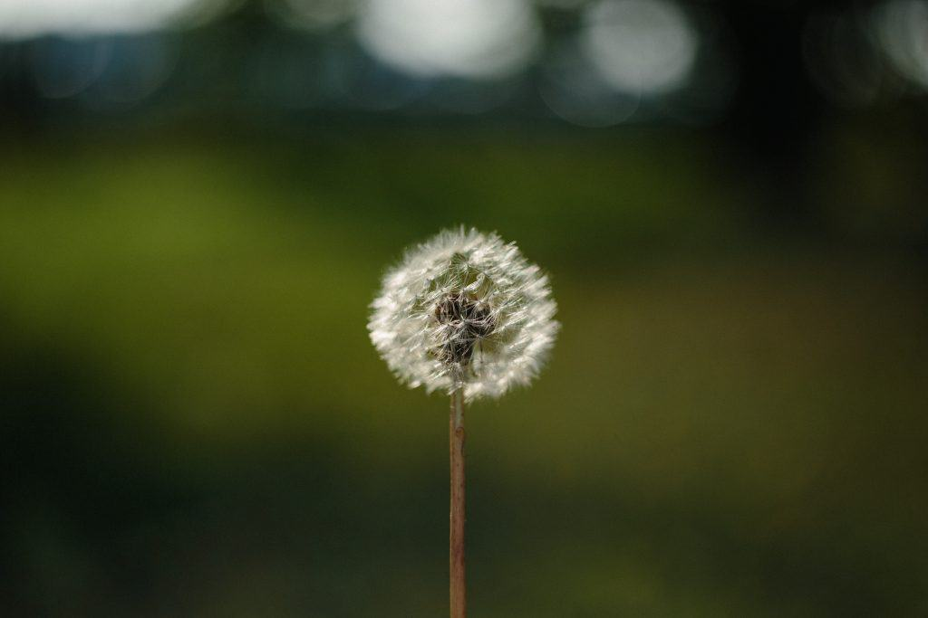 The evil dandelion