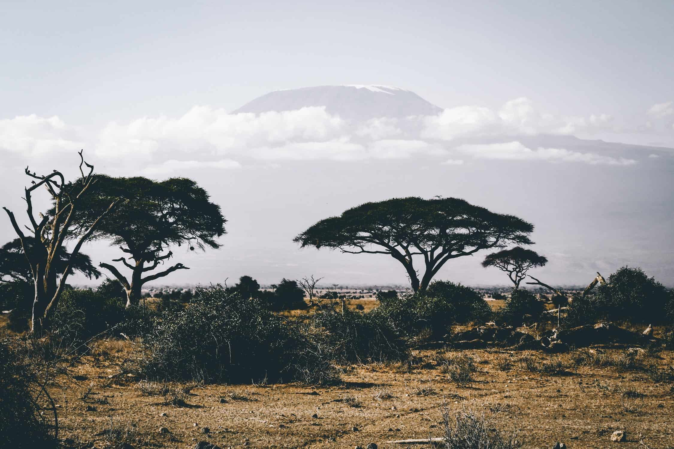 acacia tree on the savannah