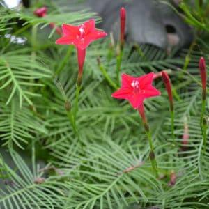 hummingbird friendly patio plant cypress vine