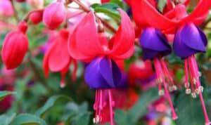 hummingbird friendly patio plant fuscia