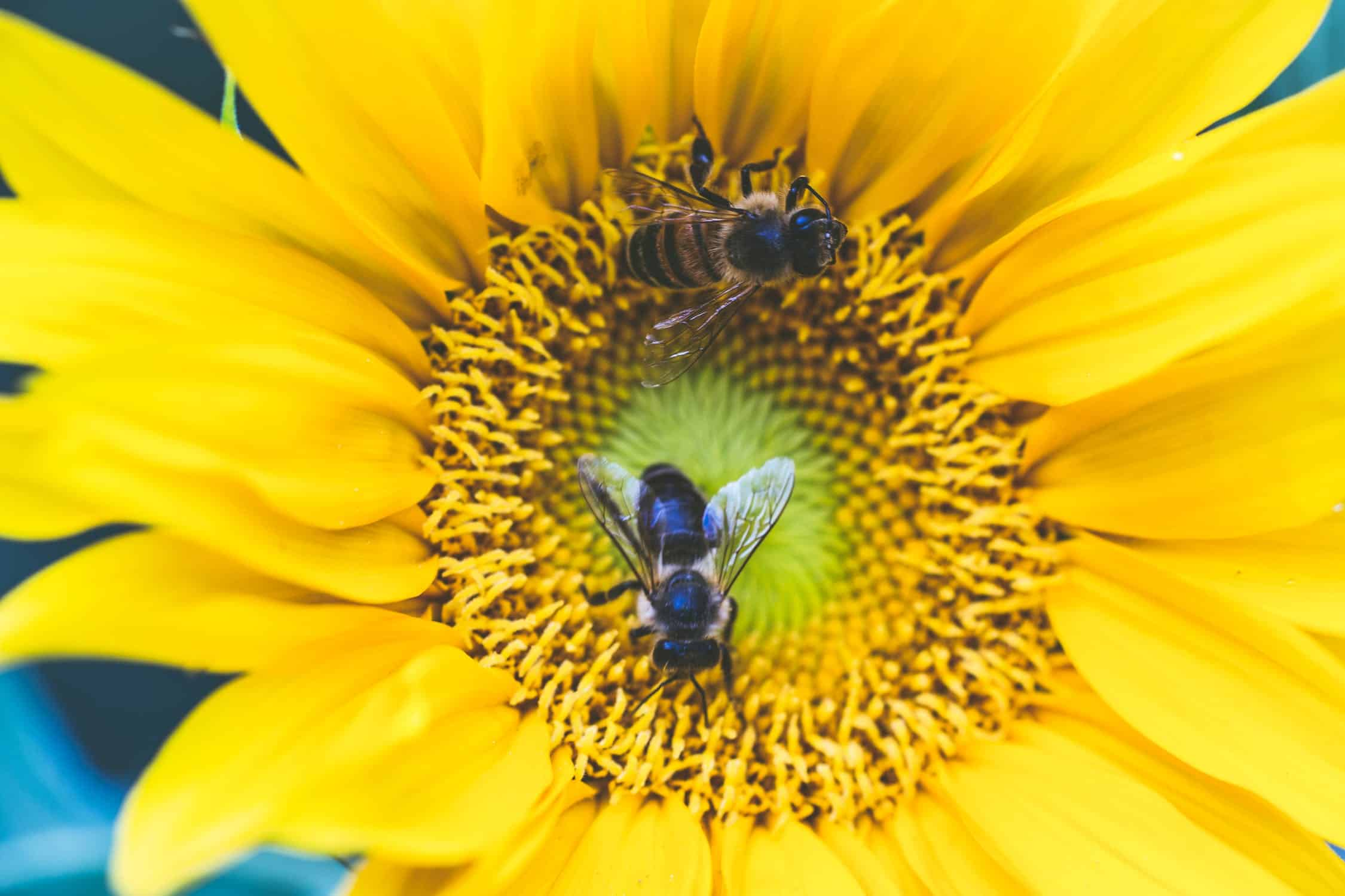 sunflowers definitely attract bees to your patio